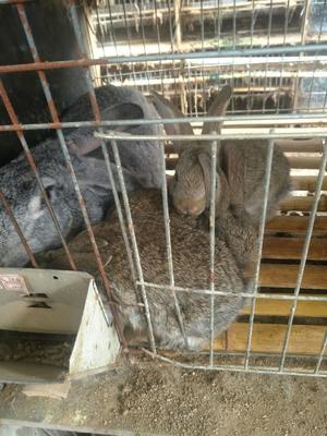这是一张关于肉兔 1-3斤的产品图片