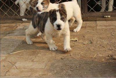 这是一张关于中亚牧羊犬的产品图片
