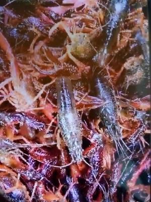 这是一张关于克氏原螯虾 人工殖养 4-6钱的产品图片
