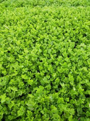 山东省滨州市阳信县西芹 60cm以上 露天种植 0.5~1.0斤