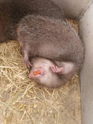这是一张关于冬茅老鼠的产品图片