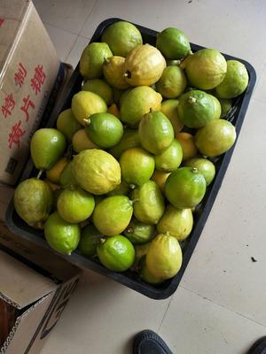 广西壮族自治区崇左市宁明县香水柠檬 2.7 - 3.2两