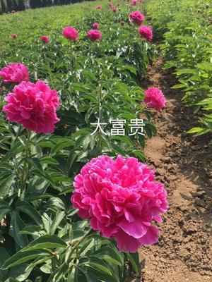 山东省菏泽市牡丹区多花芍药 2~4cm 0.5~1米