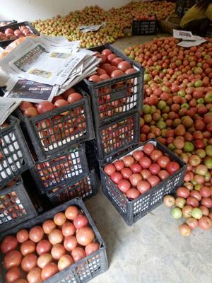 湖北省襄阳市保康县硬粉番茄 不打冷 硬粉 通货