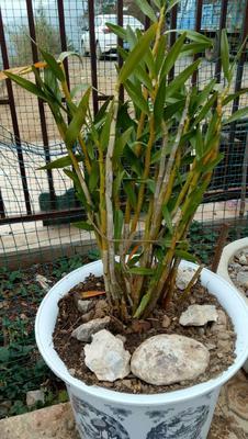 这是一张关于姬竹叶石斛的产品图片