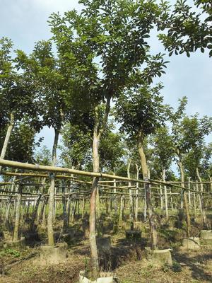这是一张关于多花黄花风铃木的产品图片