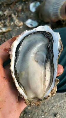 这是一张关于井州牡蛎 人工殖养 2-3两/只的产品图片