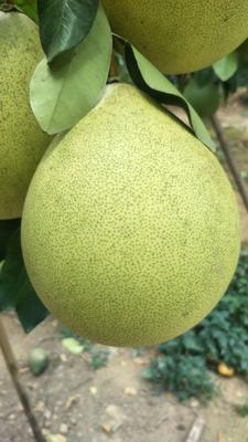 广东省梅州市兴宁市梅州蜜柚 2斤以上