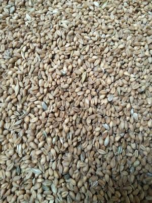 甘肃省酒泉市金塔县混合小麦
