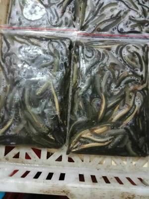这是一张关于野生泥鳅 50-60尾/龙8国际官网官方网站 3-5cm 野生的产品图片