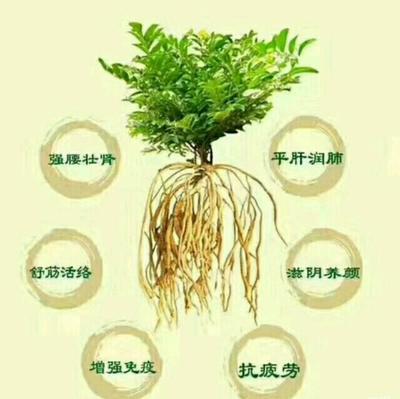 这是一张关于茯苓的产品图片