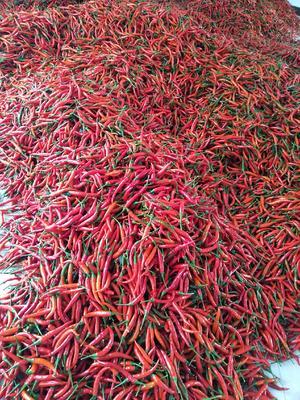 这是一张关于艳红辣椒 5~10cm 红色 特辣的产品图片