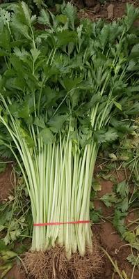 陕西省西安市未央区美国西芹 50~55cm 大棚种植 0.5斤以下