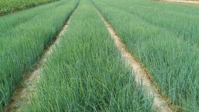 这是一张关于葱苗的产品图片