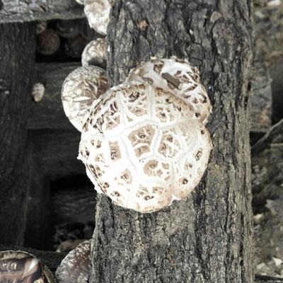 这是一张关于椴木菇 散装 1年 的产品图片