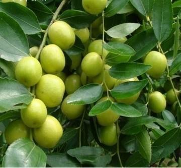 这是一张关于青枣苗的产品图片