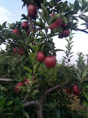 这是一张关于花牛苹果 光果 日晒面 75mm以下的产品图片