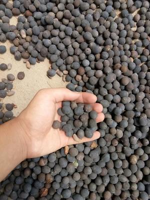 这是一张关于铁莲子 1 统货的产品图片