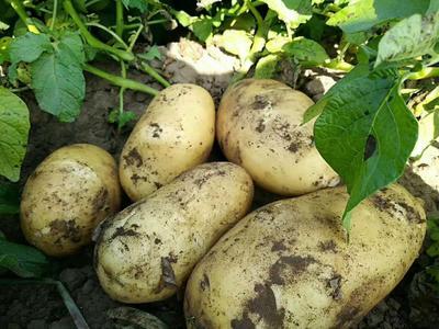 这是一张关于荷兰15号土豆 2两以上的产品图片