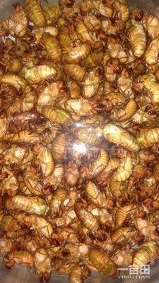 这是一张关于金蝉的产品图片