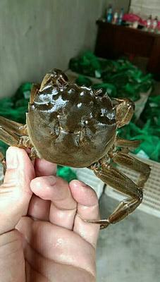 这是一张关于洞庭湖大闸蟹 1.6两 公蟹的产品图片