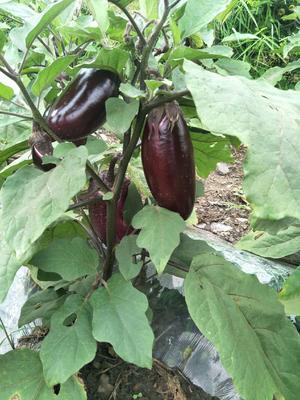 贵州省毕节市纳雍县紫红茄霸王 2两以上