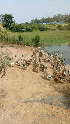广西壮族自治区贵港市港北区青头鸭 5-8斤