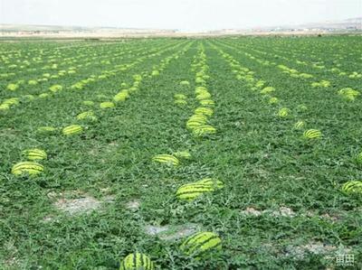 这是一张关于硒砂瓜 有籽 1茬 9成熟 8斤打底的产品图片
