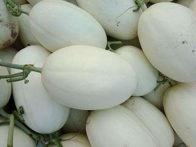 山东省滨州市惠民县脆梨甜瓜 0.3斤以上