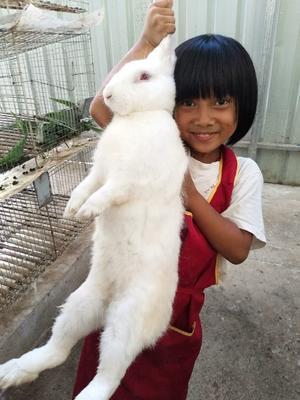 这是一张关于比利时野兔 3-5斤的产品图片