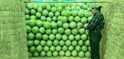 天津静海县京欣西瓜 有籽 1茬 9成熟 6斤打底
