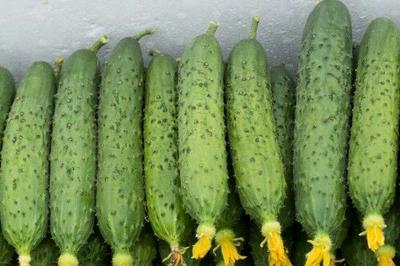 山东省青岛市市北区刺黄瓜 18cm以下 鲜花带刺