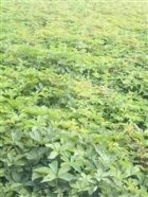 山东省泰安市岱岳区爬山虎 1米以下 1公分以下