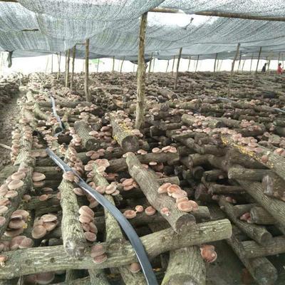 这是一张关于椴木菇 散装 1年的产品图片