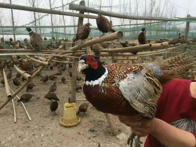 云南省保山市隆阳区野山鸡 1-2斤