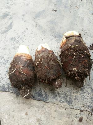 广西壮族自治区玉林市玉州区香芋 1cm以上