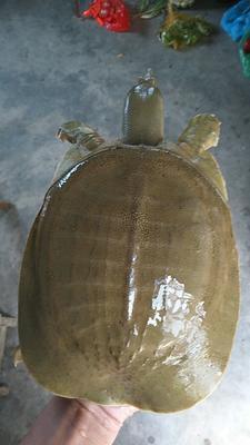安徽省六安市寿县外塘甲鱼