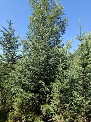 这是一张关于甘肃云杉的产品图片