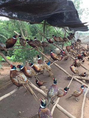 广东省佛山市南海区七彩山鸡 2-3斤
