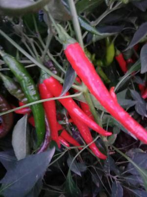这是一张关于津红2号 15~20cm 红色 中辣的产品图片