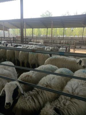 这是一张关于杜寒杂交羊 80-110斤的产品图片