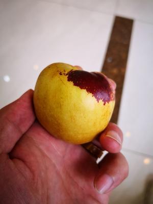 这是一张关于黄骅冬枣 直口 40-50g的产品图片