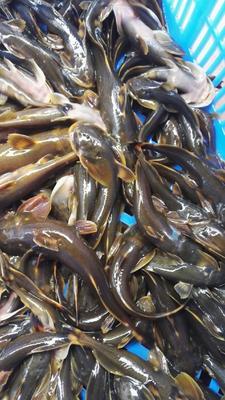 这是一张关于石爬鱼的产品图片