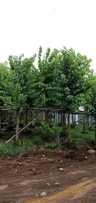 这是一张关于宫粉紫荆树的产品图片