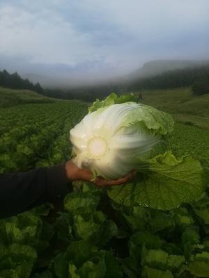 河北省张家口市蔚县金峰白菜 3~6斤 二毛菜