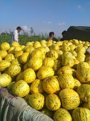 吉林省白城市通榆县八里香甜瓜 1斤以上