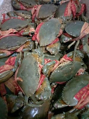 这是一张关于青蟹 3.5-4.0两 统货的产品图片