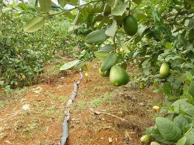广西壮族自治区崇左市江州区台湾香水柠檬 2 - 2.6两
