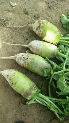 这是一张关于青皮萝卜 1~1.5斤的产品图片