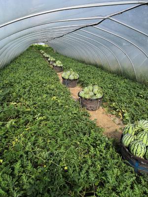 这是一张关于8424西瓜 有籽 2茬 9成熟 5斤打底的产品图片